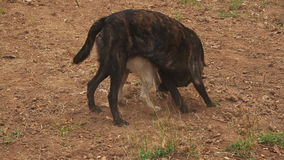 Two dogs playing. On the ground in the evening stock video footage