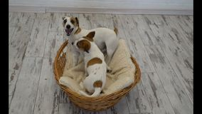 Two dogs playing at home. Happy pets friends. Dog games stock video
