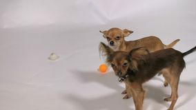 Two dogs playing indoors, white gray background. Toy Terriers play with balls and with each other stock footage