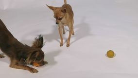 Two dogs playing indoors, white gray background. Toy Terriers play with balls and with each other stock video footage