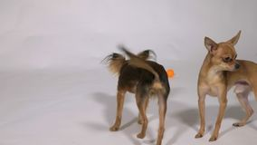 Two dogs playing indoors, white gray background. Toy Terriers play with balls and with each other stock video