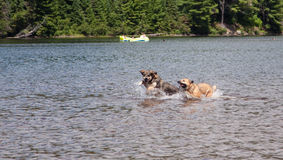 Two dogs playing in the lake Stock Photos