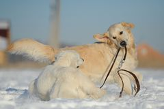 Two dogs playing with a lead Royalty Free Stock Images