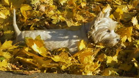 Two dogs playing in leaves in autumn stock video footage