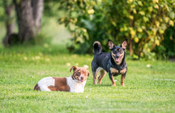 Two dogs playing. Two little dogs playing outdoors on the grass Royalty Free Stock Photos