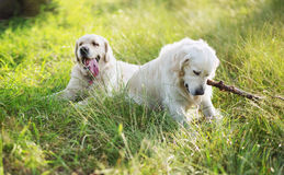 Two dogs playing in the meadow Royalty Free Stock Images