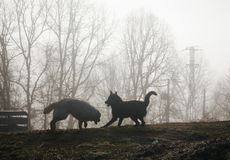Two dogs playing in the mist at sunrise. Royalty Free Stock Image