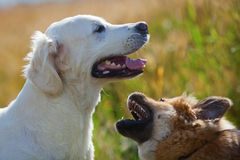 Two dogs playing outdoors Stock Images
