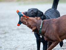 Two dogs playing at a park Stock Images