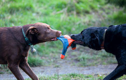 Two dogs playing at a park. Dogs playing at a park royalty free stock images