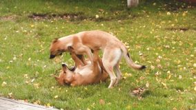 Two dogs playing in the park on grass. stock video