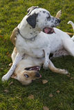Two dogs playing at park, labrador and dalmatian Royalty Free Stock Image