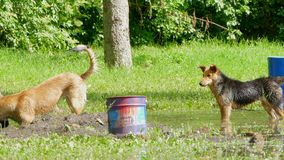 Two dogs playing in a puddle in the park. Stray dogs play in a puddle in the park stock footage