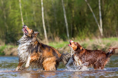 Two dogs playing at the river Royalty Free Stock Photo