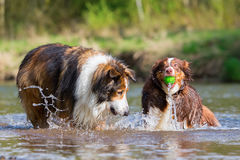 Two dogs playing at the river Royalty Free Stock Image