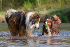 Two dogs playing at the river Royalty Free Stock Images