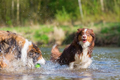 Two dogs playing at the river Royalty Free Stock Photography