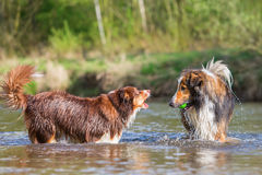 Two dogs playing at the river Stock Photography