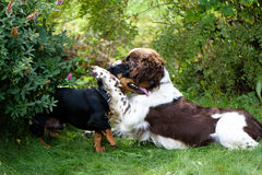 Two dogs playing rough in grass Royalty Free Stock Image