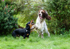 Two dogs playing rough in grass Stock Image