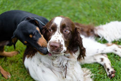 Two dogs playing rough in grass Stock Photo