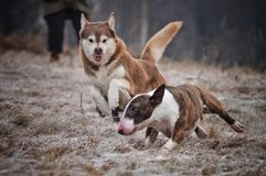 Two dogs playing. Two dogs running around playing rough  one jumping a showing his teeth to the other that has his head lovered Royalty Free Stock Images