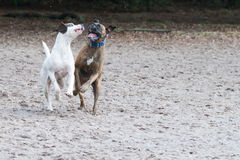 Two dogs playing in the sand stock photo