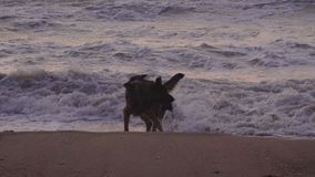 Two dogs are playing at the sea coast on sand beack at twilight. Slow motion stock footage