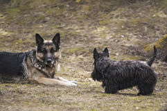Two dogs playing Royalty Free Stock Photos