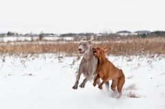 Two Dogs Playing in the Snow. A Vizsla and a Weimaraner Dog play together in a snowy field in winter Stock Photography