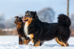 Two dogs playing the snow Stock Images