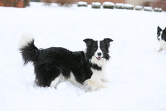 Two Dogs playing in snow Stock Photo