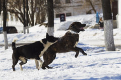 Two dogs playing in snow Royalty Free Stock Photos