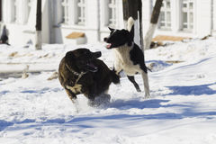 Two dogs playing in snow Royalty Free Stock Image