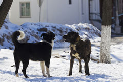Two dogs playing in snow Stock Image