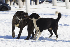Two dogs playing in snow Stock Photos