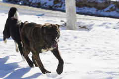 Two dogs playing in snow Royalty Free Stock Images