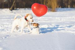 Happy dog couple with heart shaped air balloon as valentines day concept. Two dogs playing on snow at nice winter day Stock Photography