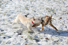 Two dogs playing in snow park Royalty Free Stock Photos