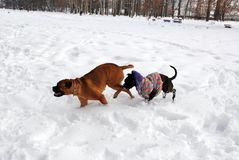 Two dogs playing in the snow Royalty Free Stock Image