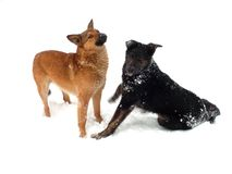 Two dogs playing in the snow Stock Photos