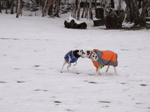 Two dogs playing in the snow. Two dogs play in the snow. One is dalmatian, the other half dalmatian. The two dogs wear dog coats Stock Photography