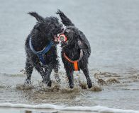 Two dogs playing in surf on beach royalty free stock photos