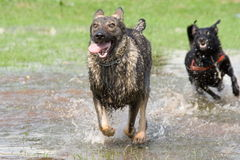 Two dogs playing tag. In park Royalty Free Stock Photography
