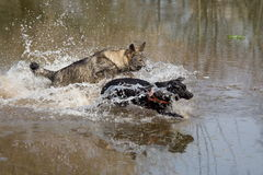 Two dogs playing tag. In water Stock Photo