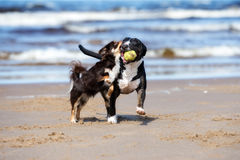 Two dogs playing together on a beach stock image