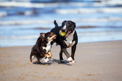 Two dogs playing together on a beach Royalty Free Stock Images
