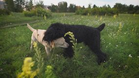 Two dogs playing together on a green grass. Labrador and royal poodle. stock video