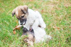 Two dogs playing together. Happily On the lawn Royalty Free Stock Image