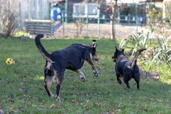 Two dogs playing together outdoors little and big dog, Appenzeller Mountain Dog and labrador mix.  stock image